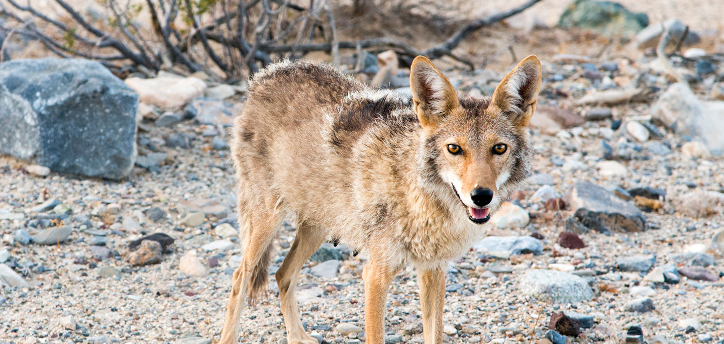 Coyotes | The Humane Society of the United States