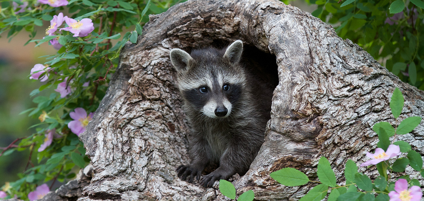 Raccoons | Te Humane Society of the United States
