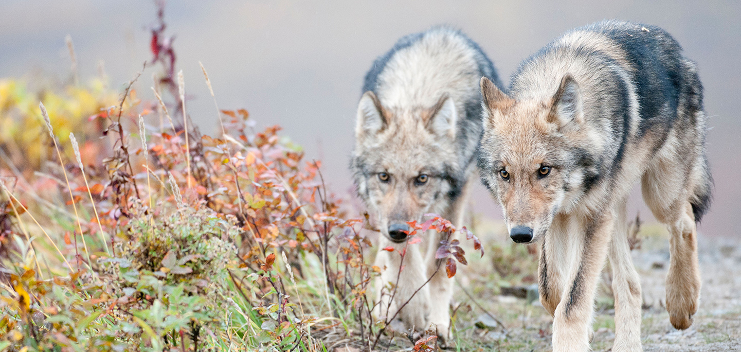 Wolves | The Humane Society of the United States