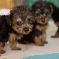 Puppies at temp shelter from puppy mill rescue in North Carolina