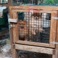Dogs in cages during a rescue from a North Carolina puppy mill