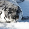 Harp seal on the ice in Canada, just before the annual seal slaughter