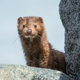 Banning fur traps allows wild mink and other animals to live free and unharmed