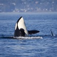 The HSUS helped end orca captive breeding program at SeaWorld