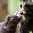 Raccoon dog pup with mother