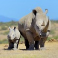 Endangered rhinos in Africa are often hunted for their horns