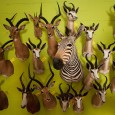 Wildlife trophies of animals killed by US and German hunters