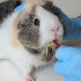 guinea pig animal testing