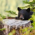 Black bear with head resting on a tree stump