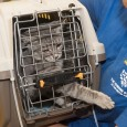 Cat reaches her paw through her carrier as she is carried to the shelter