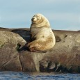 Stellar sea lion sitting on a rock in the Pacific Ocean