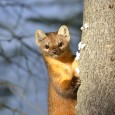 Wild marten peeking out from behind a tree
