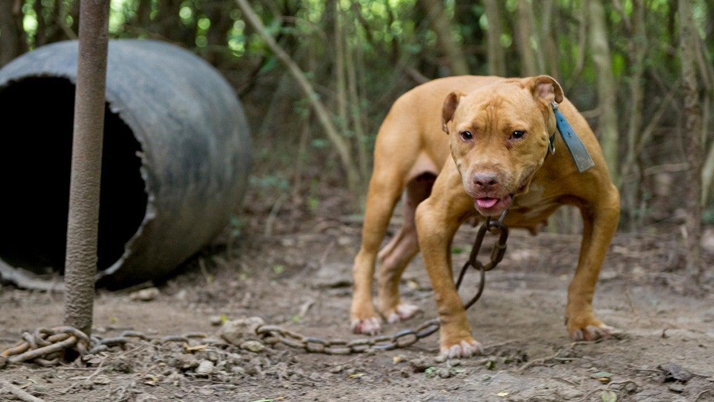 Dogfighting Fact Sheet The Humane