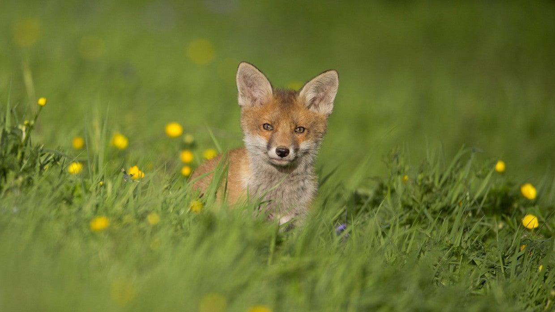 Success! Cruel Fox Cub Murderers Prosecuted in UK