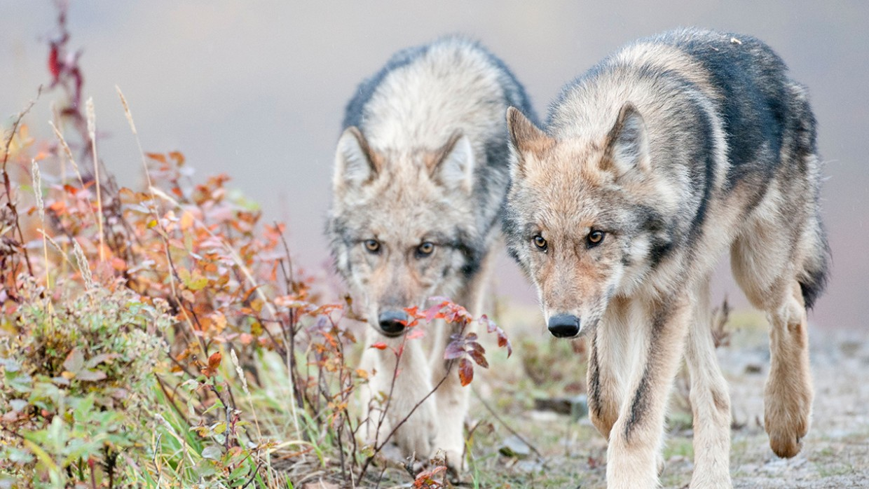 Wolves The Humane Society Of The United States