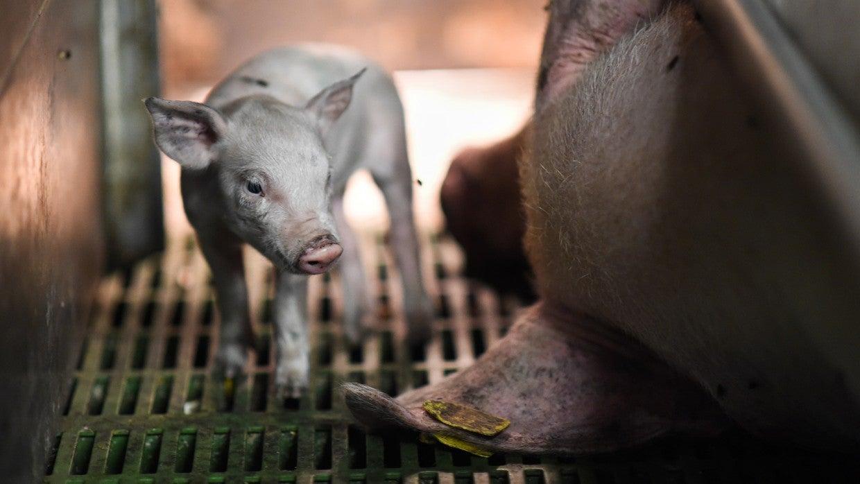 The science behind farm animal welfare | The Humane Society