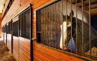 Tennesse Walking Horse in stable