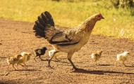 Chicken with baby chicks, crossing a pathway