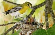 Mom bird feeding her babies in a nest