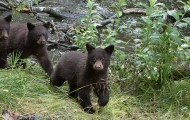 Black bear cubs walking near stream