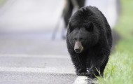 Black bear walking down the street in Yellowstone