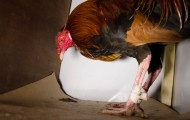 Injured rooster, being rescued from cockfighting