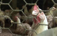 Caged hens before being rescued from cockfighting raid