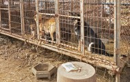 Two dogs in a cage on a dog meat farm in South Korea