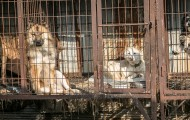 Dogs in filthy cages at a dog meat farm in South Korea