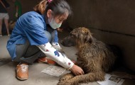A Veterinarian treats a dog rescued from the China dog meat trade.