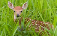 Fawn in a field of tall green grass