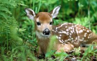 Fawn sitting in the grass.