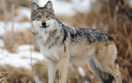 Wild gray wolf standing in the snow.