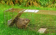 Groundhog in a trap near a garden