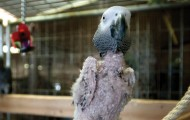 Parrot with no feathers due to self-mutilation.