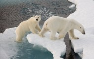 polar bears walking along ice floe