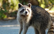 Raccoon standing in the road