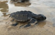 Sea turtle hatchlings on the beach