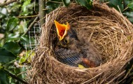 Hungry baby bird in a nest