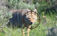 Photo illustration of a coyote with crosshairs over her face