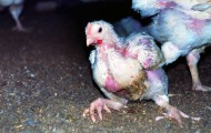 Injured broiler chicken