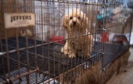 Dog in filthy cage in a puppy mill