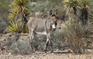 Wild burro in Arizona