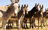 Row of burros