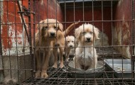 Sad dogs in a dirty cage on a dog meat farm in Korea