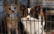 Two dogs suffering on a puppy mill farm