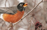 An American robin eating a hawthorn berry during a snow storm.