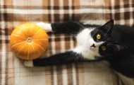 Black and white cat lying on plaid blanket holding a pumpkin.