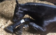 Horse suffering from soring on his legs