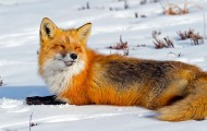 Wild red fox relaxing in the snow